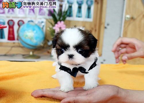 重庆繁殖华丽精品西施犬幼犬出售 签协议质保纯种健康
