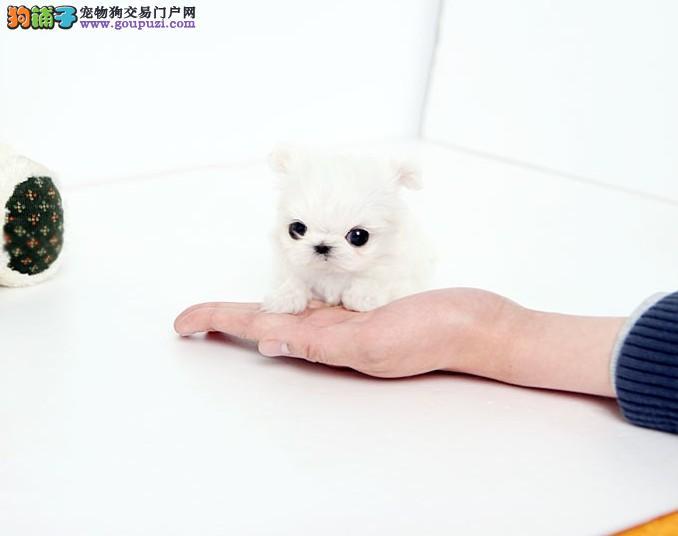 徐州市出售马尔济斯幼犬 聪明贵气 保健康纯种 签协议