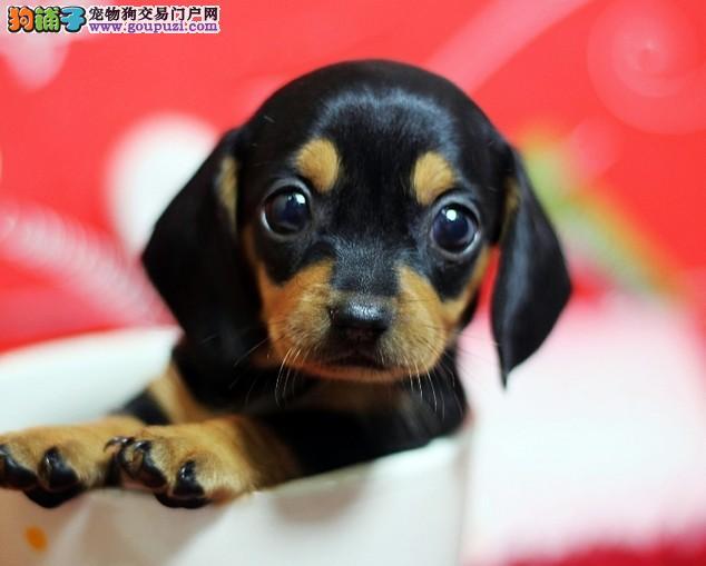 纯血统腊肠犬幼犬、品相血统一级棒、微信咨询看狗