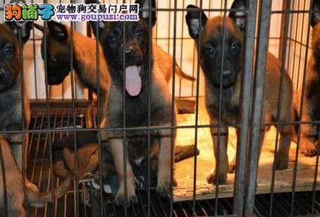 郑州CKU认证犬舍出售高品质马犬微信看狗真实照片包纯