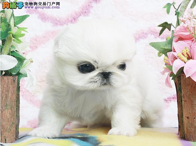 出售自家繁殖高品质可爱的京巴幼犬/欢迎来家选购
