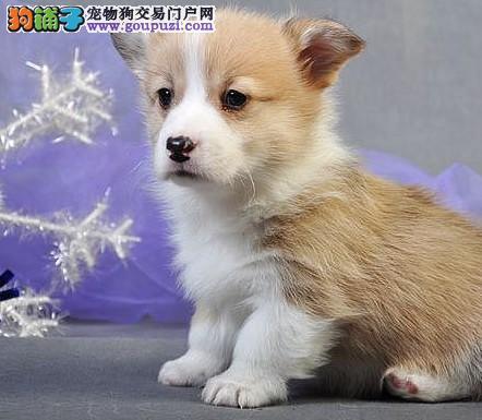 女神的最爱 长沙三色两色柯基犬繁殖出售 血统纯正