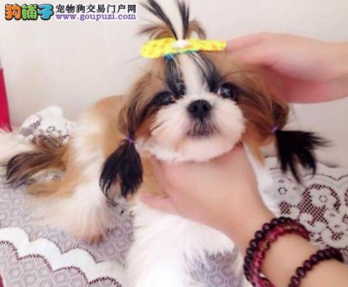 西安自家繁殖的纯种西施犬找主人微信选狗直接视频