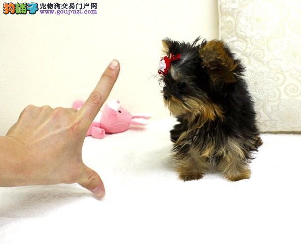 犬舍常年出售精品约克夏幼犬