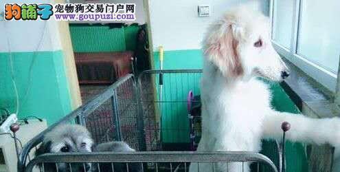 出售赛级阿富汗猎犬 国际血统品相好 全国空运到家