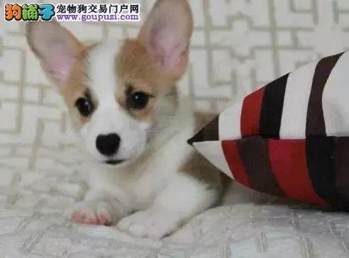 出售自家繁殖的纯种高品质柯基犬幼犬!