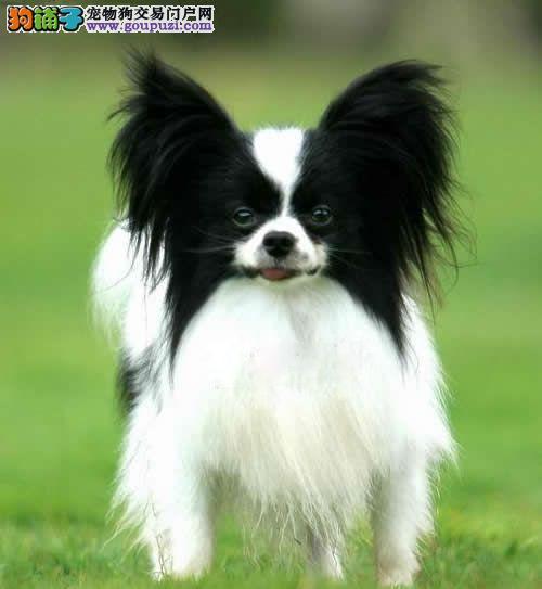 潍坊有两窝 10只三个月大蝴蝶犬出售 可看狗爸狗妈