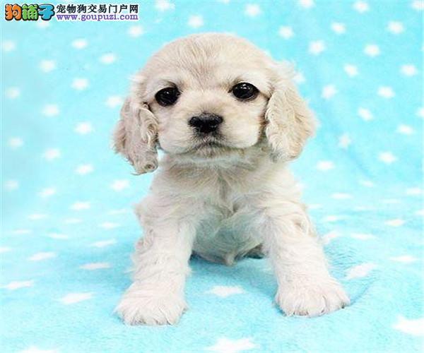 纯种可卡犬出售 多只可选 正规犬舍出售 签订售后协议