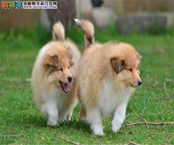 苏格兰牧羊犬多少钱一只
