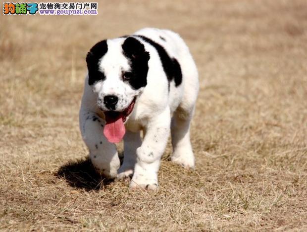顶级优秀的纯种中亚牧羊犬热销中多种血统供选购