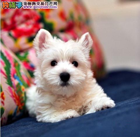 广州健康纯种西高地犬 西高地犬养殖 哪里有卖西高地
