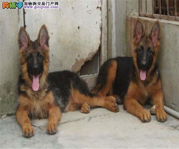 自家繁殖的纯种狼狗找主人喜欢它的快来