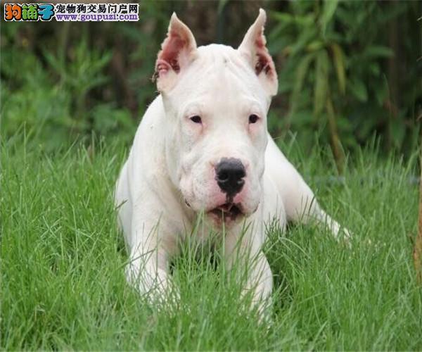 猎犬之王杜高幼犬待售打猎斗狗超给力凶猛猎犬杜高犬