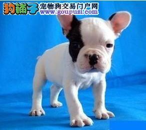 邯郸高品质法国斗牛犬出售赛级斗牛犬憨厚体型赛级血统