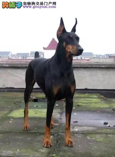 纯种德系杜宾犬出售 极具爆发力肌肉线条优美 来场特惠