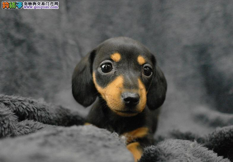 石家庄市出售纯种健康腊肠犬幼犬 可视频看狗 全国包邮
