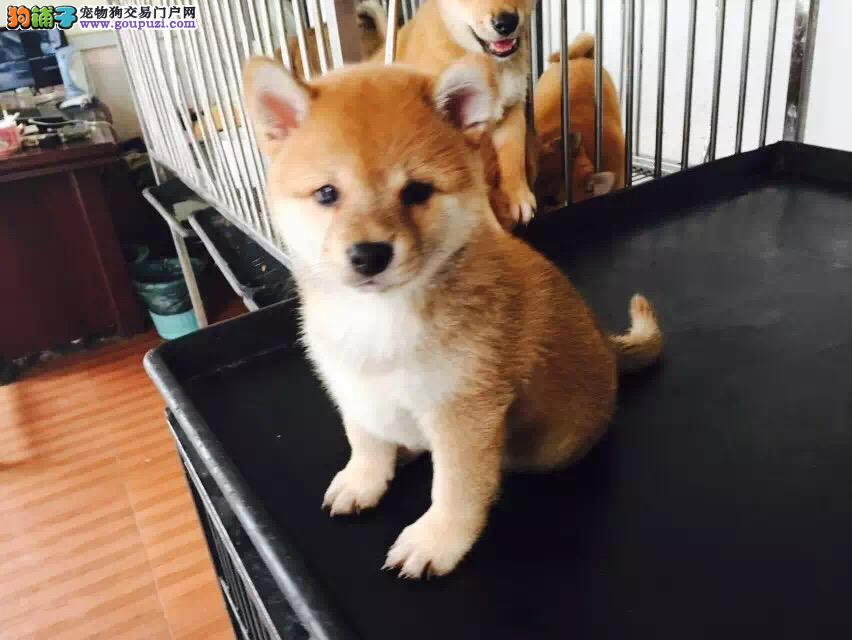 出售纯种健康的天津柴犬幼犬质保协议疫苗驱虫齐全