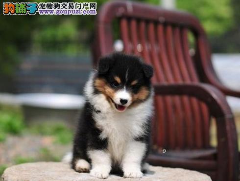 佛山售精品喜乐蒂宝宝 种犬可对外配种 签署保证协议