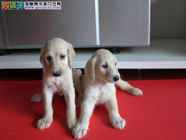 蚌埠专业繁殖纯血统阿富汗幼犬聪明忠诚健康
