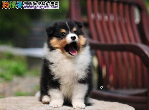 饲养必读之喜乐蒂犬的饲养管理计划