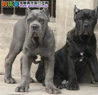 黄浦本地繁育赛级品质卡斯罗犬幼犬出售签协议包活
