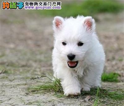 纯种高品质西高地白梗幼犬 活泼可爱2