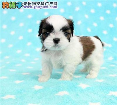 新乡品质有保障 信誉售后服务犬舍直销纯种西施犬幼犬