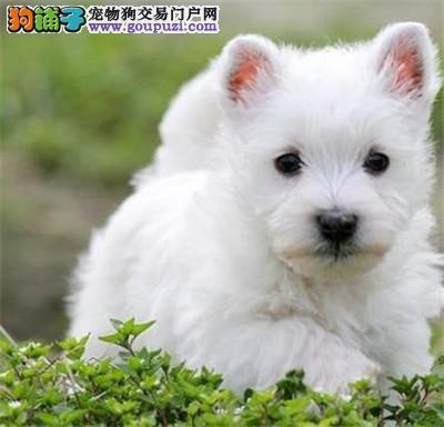 纯种高品质西高地白梗幼犬 活泼可爱3
