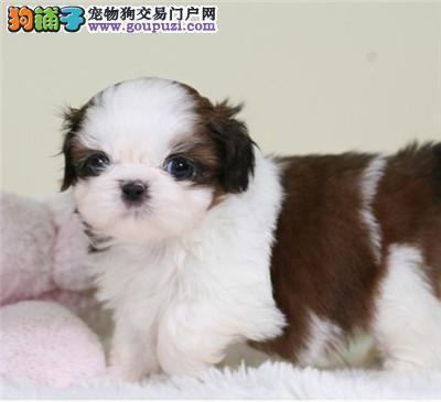 高品质西施犬宝宝 CKU品质绝对保证 三年质保协议