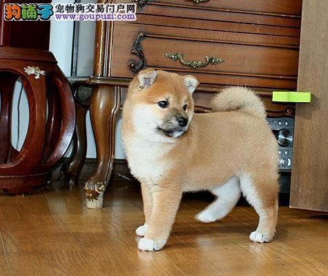 福州热销柴犬颜色齐全可见父母微信咨询看狗
