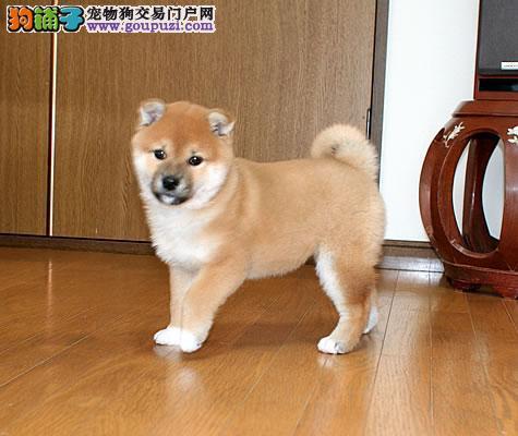 重庆实体店低价促销赛级柴犬幼犬喜欢加微信可签署协议