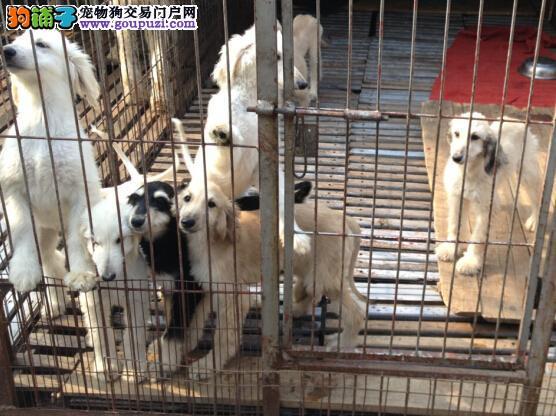 权威机构认证犬舍 专业培育阿富汗猎犬幼犬一分价钱一分货4