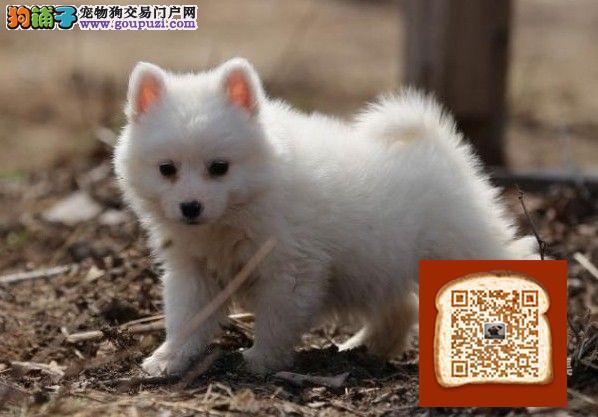 高品质银狐带血统出售中 终身质保 质量三包 可签协议