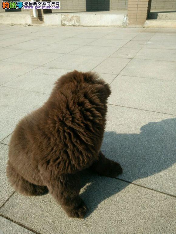 颜色全品相佳的纽芬兰犬纯种宝宝热卖中当日付款包邮图片