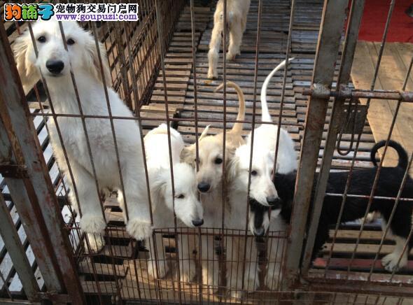 CKU犬舍认证出售纯种阿富汗猎犬签协议上门选