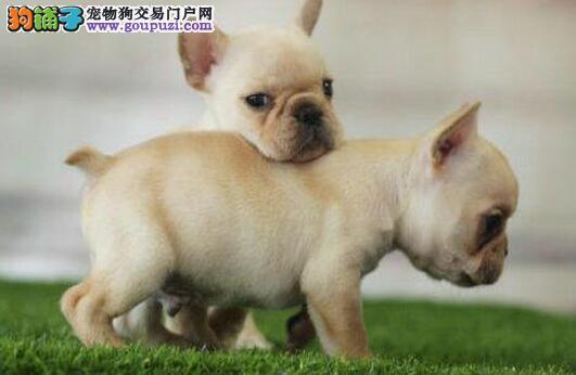 犬舍出售纯种斗牛犬赛级证书芯片齐全保证健康