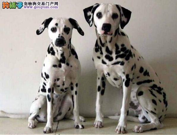 家庭医生 如何给斑点狗做抢救措施