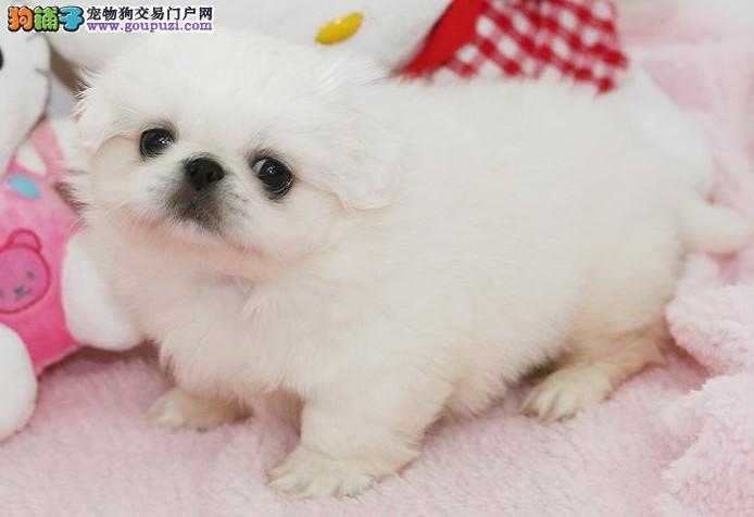 老吐鲁番犬中国人自己的小型犬纯种京巴欢迎加微信看狗