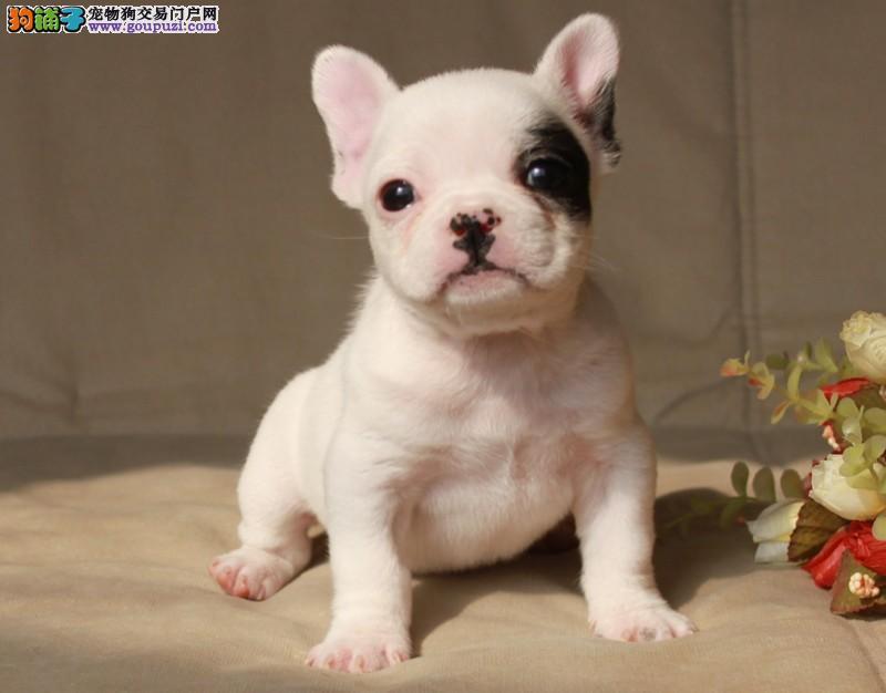 杭州出售法国斗牛犬颜色齐全公母都有终身售后送货