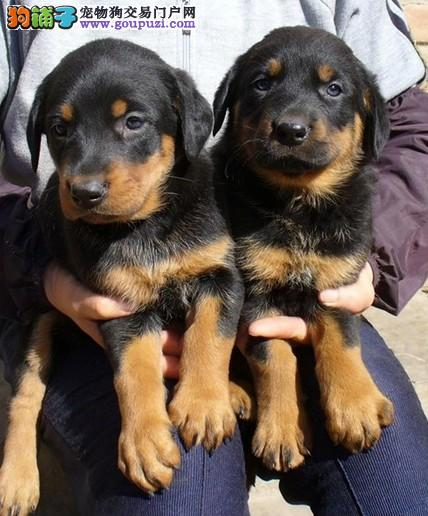 济南出售茶杯犬颜色齐全公母都有终身售后保障
