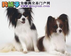 出售颜色齐全身体健康蝴蝶犬喜欢加微信可签署协议3