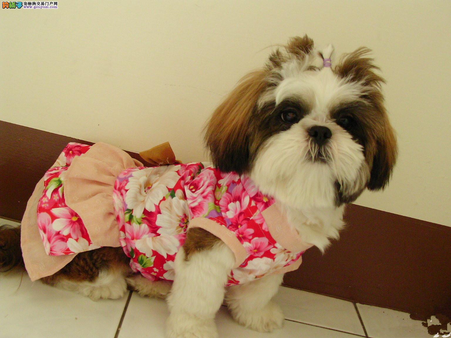 郑州小型犬迷人的三色西施犬 长毛活泼