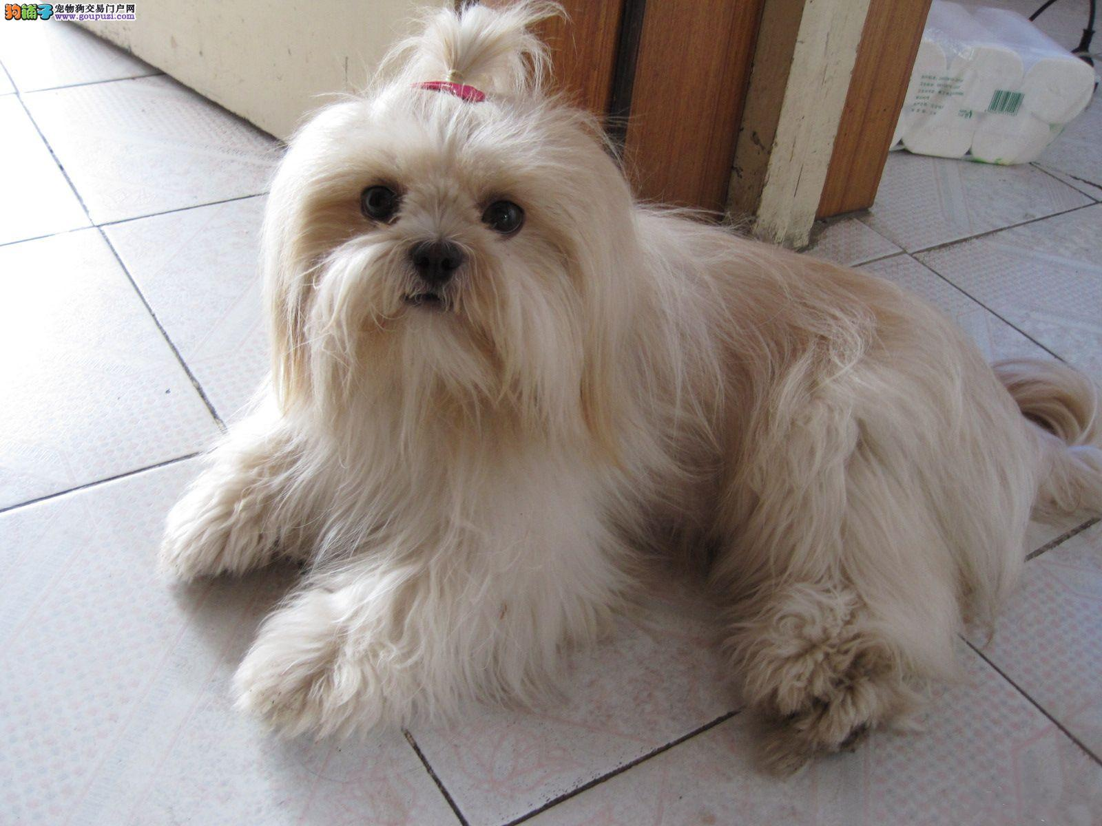 出售多种颜色纯种西施犬幼犬签署质保合同