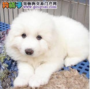 上饶出售纯种大型大白熊犬三年售后协议