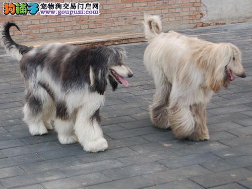 百分百健康纯种阿富汗猎犬热卖中可签合同刷卡3