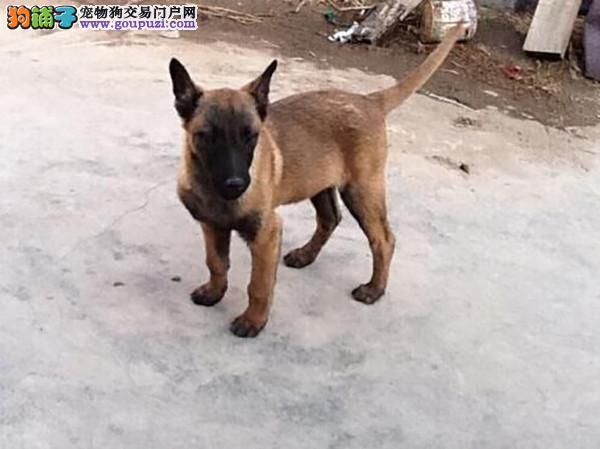 出售纯种健康的厦门马犬幼犬可直接微信视频挑选3