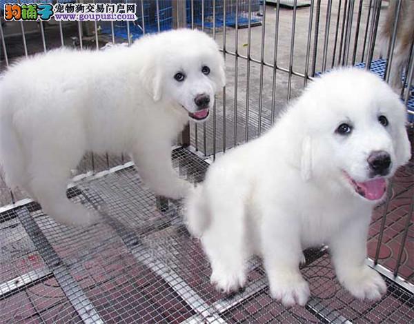 桂林市出售大白熊幼犬 终身质保 签协议 已驱虫