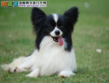 纯种的蝴蝶犬出售可上门选购包健康狗狗