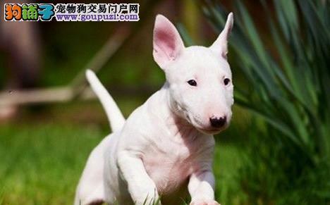 宁波牛头梗犬幼犬火爆出售 海盗眼 个性十足 质量三包