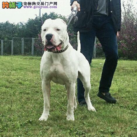 阿根廷杜高幼犬顶级猎犬带血统芯片长沙低价售欢迎上门